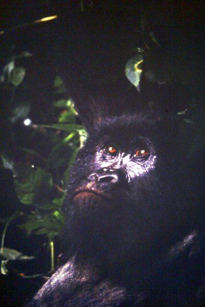 Mountain Gorilla, Zaire